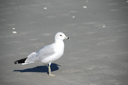 SEAGULLS – Rats of the Sea! – Observations from a Tiki BAR