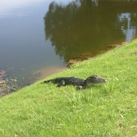 Gator_at_pond_01