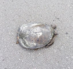Softshell_Turtle